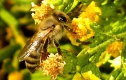 μέλισσα σε ακονιζά